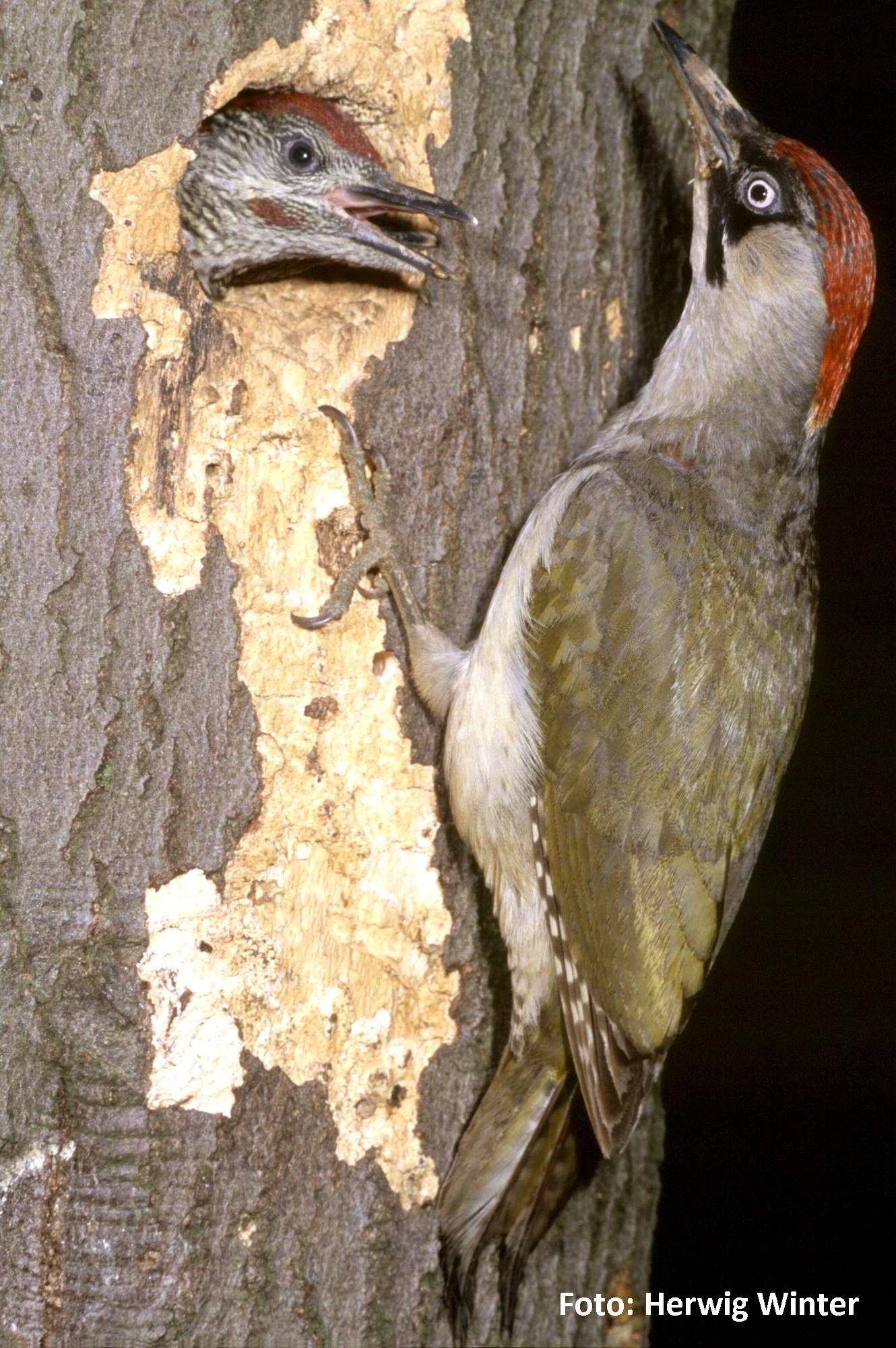 Grünspecht, Weibchen füttert Junge