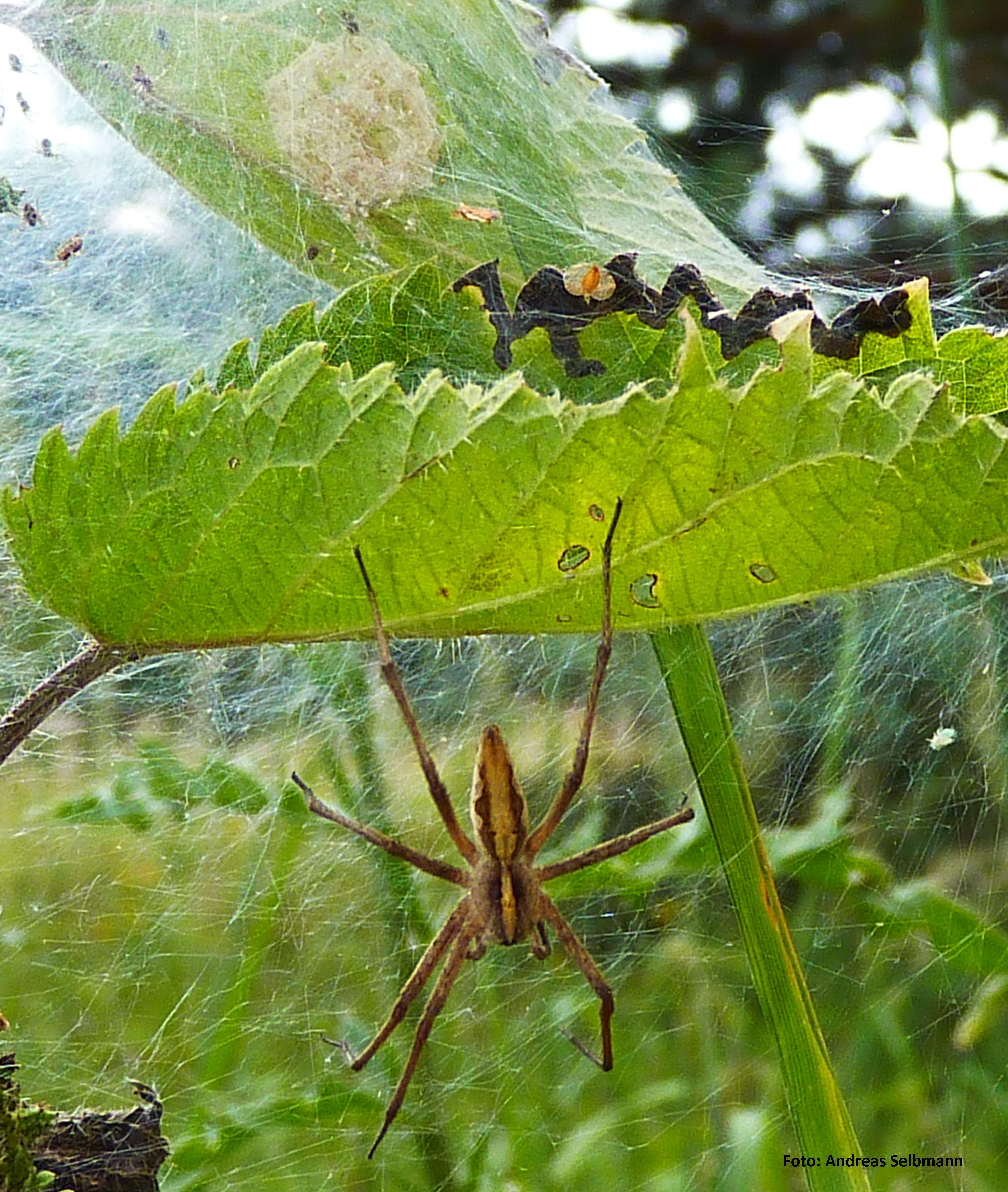 Spinnenbraut