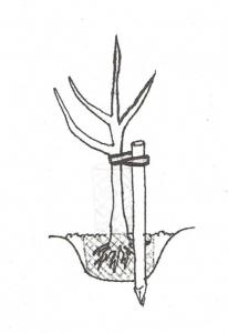 Fachgerechte Obstbaumpflanzung